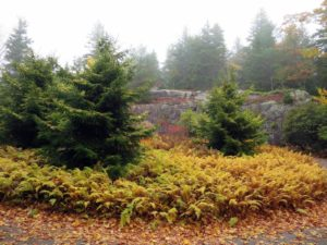 The circular driveway is planted with hay-scented ferns, which turn yellow in fall, purple smoke bushes, and spruce trees, Picea orientalis 'Skylands'. When I found these trees, I got many to plant here in Maine.