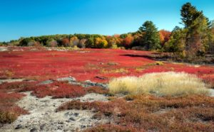 Here is a blueberry field in Warren, Maine. This is the time when the plants prepare to go dormant for the winter and show this annual burst of red color - a result of pigments being synthesized by the plants just before the leaves fall. It is a stunning sight.