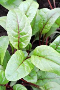 Chard is a leafy green vegetable often used in Mediterranean cooking. In the Flavescens-Group-cultivars, the leaf stalks are large and are often prepared separately from the leaf blade.