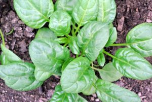 """Here is the spinach. The more mature plants are looking great - so lush green and healthy. Leafy vegetables such as lettuce and spinach can be thinned by gently pulling the unwanted plants. The spinach varieties we planted include """"Seaside"""" and """"Emperor""""."""