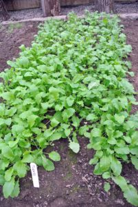 This is our turnip crop. Spacing will vary by varieties and whether you want your vegetables to grow to full size, but in general, leave enough room for the anticipated size of the mature vegetable plus a couple of inches on either side. The seed packet will list optimal spacing needs.