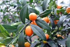 Unlike other citrus fruits, which have thick, pithy rinds, kumquat peel is thin and soft, and perfectly edible.