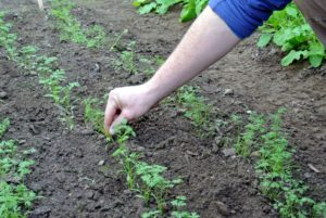 And here, Ryan is thinning out the carrots.