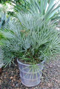 This is a fan palm - any of several different kinds of palms with leaves that are palmately lobed, and resembling a fan. Fan leaves are typically circular or paddle shaped, or shaped like a portion of a circle.