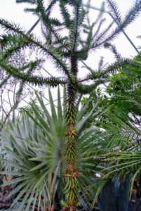 This is called Araucaria araucana, or more commonly called the monkey puzzle tree, monkey tail tree, Chilean pine, or pehuén. It is an evergreen tree native to central and southern Chile and western Argentina.