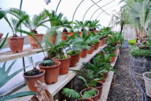 I also keep a group of sago palms, Cycas revoluta, in this enclosure. They are popular houseplants - pretty foliage and easy to care for, but keep them away from pets and young children, as they are also very toxic if ingested.