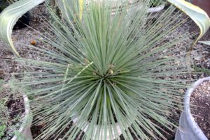 This is an Agave stricta, well nicknamed the hedgehog agave. It is a succulent evergreen perennial, with rosettes of narrow, spine-tipped dark green leaves up to 16-inches long.