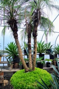 Also in this enclosure, is this tall pygmy date palm tree, Phoenix roebelenii. This tree grows to about 10-feet tall. It is planted in a large container with another sedum ground cover. Phoenix roebelenii is a popular ornamental plant and needs little pruning to develop a strong structure.