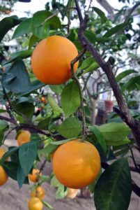 Citrus sinensis 'Trovita' is thin skinned and develops without the excessive heat most oranges need to produce good fruit. The fruit is smaller, juicier, and milder in flavor.