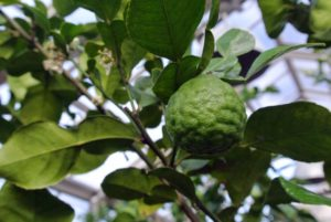 This is a Citrus hystrix 'Kaffir Lime'. It is sometimes referred to as the makrut lime and is native to tropical Asia, including India, Nepal, Bangladesh, Thailand, Indonesia, Malaysia, and the Philippines. The leaves of this tree are often used in Thai cooking, for their delicious flavor and fragrance.