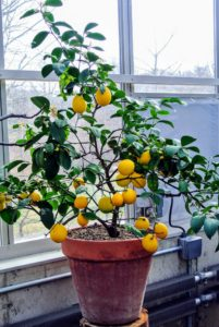 Citrus limon 'Meyer' - my favorite lemon because this thin-skinned fruit is much more flavorful than the ordinary store-bought. I love to use them for baking and cooking.