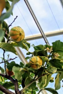 Citrus limon 'Pink Lemonade' trees produce fruits with pink flesh, and little to no seeds.