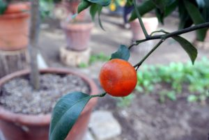 Calamondin marmalade can be made in the same way as orange marmalade. Like other citrus fruits, the calamondin is high in vitamin C.