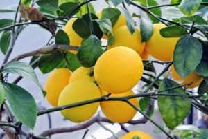 Meyer lemons are also smaller and more round than their regular store-bought cousins.
