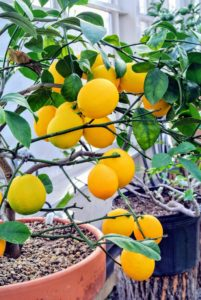The Meyer lemon was first introduced to the United States in 1908 by the agricultural explorer, Frank Nicholas Meyer, an employee of the United States Department of Agriculture who collected a sample of the plant on a trip to China.