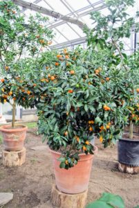 Citrus plants dislike abrupt temperature shifts and need to be protected from chilly drafts and blazing heaters.