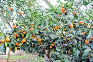 This is a Nagami kumquat, Fortunella margarita - the most commonly grown type of kumquat. The tree is small to medium in size with a dense and somewhat fine texture.  These trees are quite cold-hardy because of their tendency to go semi-dormant from late fall to early spring.