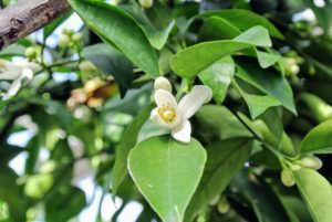 Citrus flowers are either solitary, like this waxy, white, fragrant one.