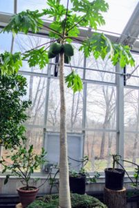 Aside from the citrus, I also have two papaya trees in this greenhouse. Papayas are easy to grow and quick to fruit. This one has four fruits growing now.