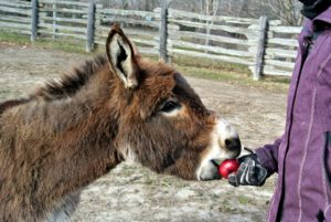 Their treat is an apple - donkeys love apples. Rufus takes the first bite.