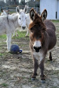 And this is Rufus. Donkeys are very social animals, and have a very keen sense of curiosity.