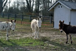 This week has been very cold here in the northeast, but my sweet donkeys don't seem to mind at all. We went down to their paddock to see what the three amigos were doing.