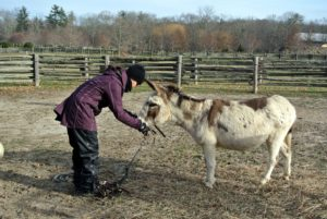 Because of the low temperatures, Sarah wanted to bring the donkeys in just a few minutes earlier.