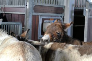 The three share one large stall. Donkeys are calm, intelligent, and have a natural inclination to like people. Here they are waiting for their daily grooming.