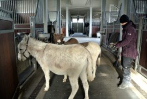 After being out all day, each donkey is given a good, thorough brushing while the others watch from nearby.