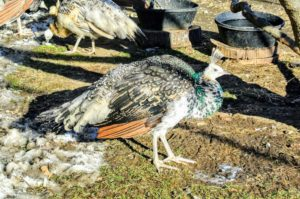 Full grown, peafowl can weigh up to 13-pounds. This one still has some growing to do.