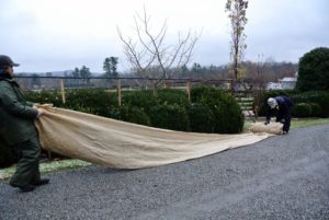 The burlap is unrolled so it can be placed over the hedge.