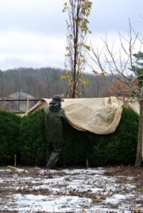 Chhiring carefully places the burlap over the next hedge.