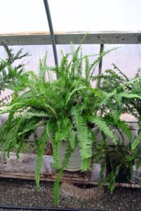 Nephrolepis obliterata is a large fern, which grows in rainforests upon rocks or in soil near lakes or streams native to northeastern Australia and New Guinea. It is considered one of the most beautiful among all ferns. It has large fronds and upright bushy and sword-shaped leaves.