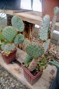 Prickly pear cactus represent about a dozen species of the Opuntia genus. All have flat, fleshy pads that look like large leaves. The pads are actually modified branches or stems that provide water storage, photosynthesis and flower production.