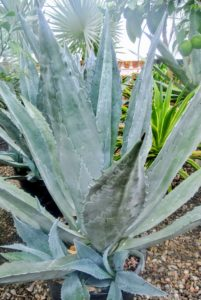Blue agave plants lend themselves well to container growing since their roots do not mind being crowded. This one has several pups at the base.