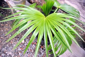 Here is another fan palm. Most fan palm leaves do have divisions into segments.