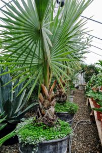This is a Bismarkia palm, Bismarckia nobilis, which grows from a solitary trunk, gray to tan in color, and slightly bulging at the base. The nearly rounded leaves are enormous and are divided to a third its length into 20 or more stiff, once-folded segments.