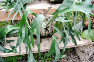 The staghorn is one of my favorite types of ferns, and probably one of the most unusual. The leaves of many are antler-like in appearance rather than like a typical fern's foliage.