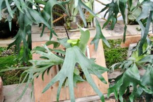 Staghorn ferns, in their natural environment,  attach themselves to tree trunks, branches, or rocks and get their nutrition primarily from air and water.