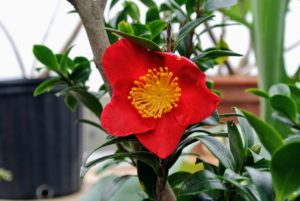 It has perfectly shaped, single, brilliant red flowers with golden stamens at the heart. These blooms can be three-inches wide, with glossy green foliage.