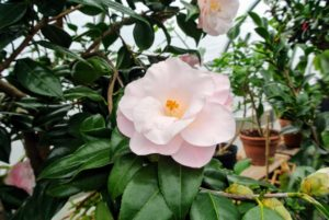 I love this light pink camellia bloom.