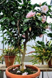 Camellia japonica should bloom through the winter, and is often called the rose of winter. It is the official state flower of Alabama and comes in thousands of cultivars with many different colors and forms.