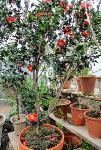 Here is Camellia vernalis 'Yuletide' - such cheerful plants, especially during the dull, gray days of winter.
