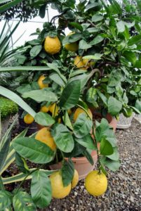 This 'Ponderosa' citrus tree is usually the last pot to be stored in this hoop house before winter. I always keep it in the front just behind the doors.