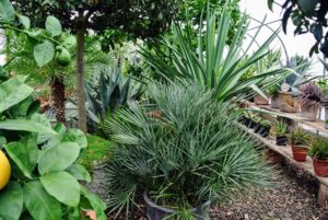 I have a lot of beautiful cycads, agaves, succulents, ferns, and other warm weather plants here. And, with proper placement, we are able to fit so many inside - without any of the plants touching.