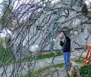 Fernando places the kugels on strong branches that can carry the weight of the ornaments.