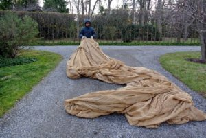 Chhiring unravels a long burlap cover. Each roll is 300-feet long. Many of these covers require several burlap pieces to be sewn together, so they fit over the hedges and shrubs. It is a lot of fabric, but worth every bit to protect these specimens.