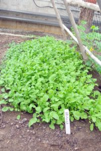 We also grow arugula underneath the trellis, which will be harvested before the cucumbers are fully mature - I always try to use as much space as possible in my gardens.