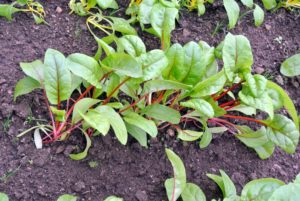 Here is the chard. The stalk colors are so vibrant - they usually come in white, yellow, or red.