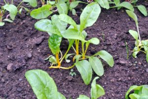 Chard is also known by its many common names such as Swiss chard, silverbeet, spinach beet, seakale beet, and mangold.